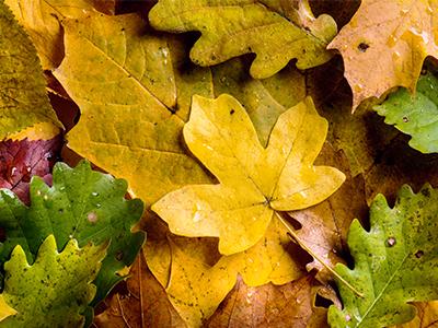 law-trust-oak-leaves
